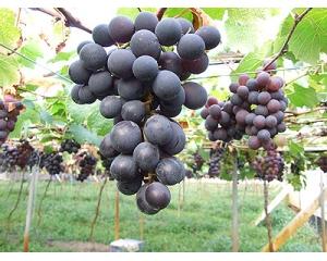 秋天到南投品尝美味巨峰葡萄