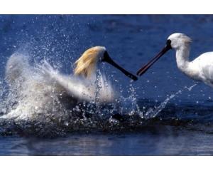 台南曾文溪口观赏黑面琵鹭