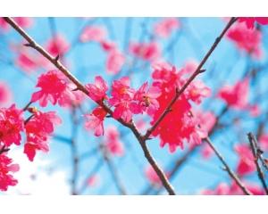 南投埔里樱花2月份盛开