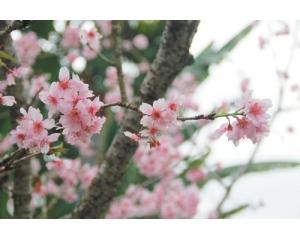 南投65号公路樱花盛开,缤纷鱼池乡樱花