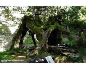 阿里山最有名的三代木,情侣最爱拍照景点