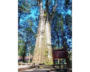 五大奇景之一阿里山神木