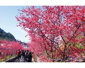 台中4大赏樱花名地:武陵、乌日区溪尾、后里、平昌