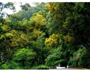 相思花将南台湾山林染成漂亮金黄宛如北国秋景