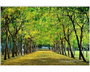 台南体育公园阿勃勒盛开黄金花道除了美还是美
