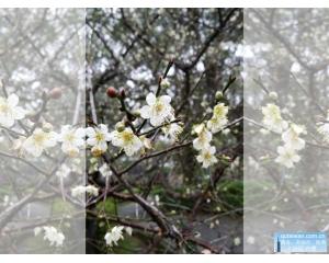 北台湾赏梅最佳地点角板山公园,中台湾三大地点风柜斗、乌松仑及牛稠坑