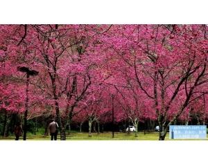 奥万大森林樱花盛开,2月下旬至3月中旬开纯白色系单花瓣的雾社樱