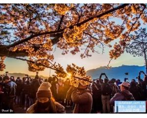 阿里山樱花盛开2万人观光加上云海景色真是醉美